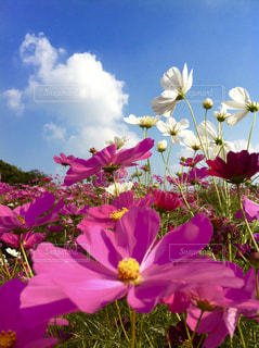 風景,花,秋,草原,コスモス,雲,景色,写真,秋桜,秋空,モリコロパーク