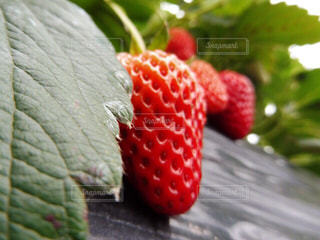 赤,苺,果物,ベリー,静岡,ストロベリー,フレッシュ,イチゴ,イチゴ狩り