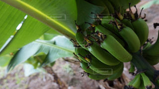 木からぶら下がって緑のバナナの束の写真・画像素材[1777132]