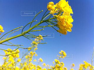 花,春,花畑,散歩,黄色,菜の花,イエロー,黄,草木,田原市,渥美半島,菜の花まつり