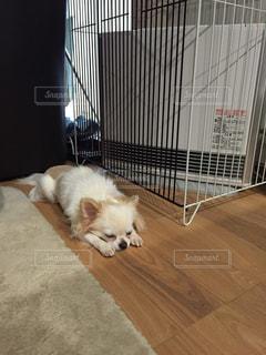 犬,チワワ,白,クリーム,寝顔
