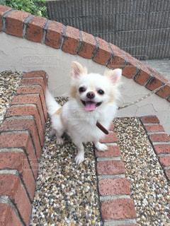 れんが造りの建物の前に小さな白い犬立っての写真・画像素材[731321]