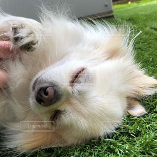 草の上に横たわっている茶色と白犬の写真・画像素材[1186469]