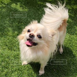 草の中の小さな白い犬立っての写真・画像素材[1186475]