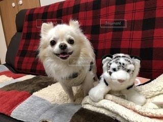 毛布の上に座っている小さな白い犬の写真・画像素材[1186487]