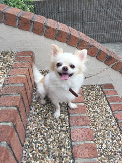 れんが造りの建物の前に小さな白い犬立っての写真・画像素材[1186489]