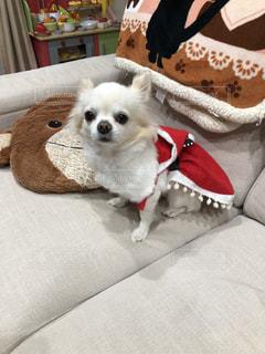 ベッドに座っている小さな犬の写真・画像素材[2826649]