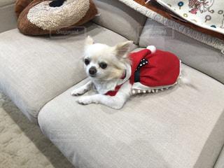 ベッドの上に座っている小さな茶色と白い犬の写真・画像素材[2826647]
