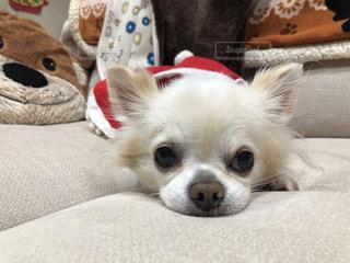 ベッドに横たわっている茶色と白の犬の写真・画像素材[2826645]