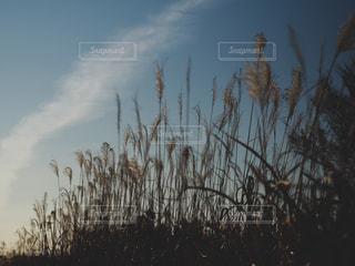 川辺のすすきの写真・画像素材[2910934]