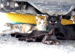 家族,猫,夏,動物,親子,暑い,仲良し,ねこ,子猫,人物,野良猫,日陰,猛暑,日中,3匹,涼む,寄り添う,母猫,車の下,父猫