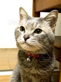 猫,動物,屋内,かわいい,ペット,人物,可愛い,目,見つめる,オス,耳,ネコ