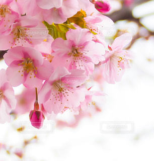 桜咲くの写真・画像素材[2985153]