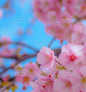 桜の写真・画像素材[2985180]