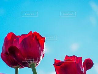 澄んだ青空の赤い花の写真・画像素材[2985182]