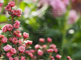 小さな薔薇の写真・画像素材[2985227]