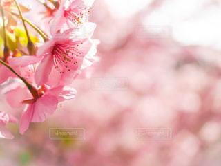 河津桜の写真・画像素材[2988127]