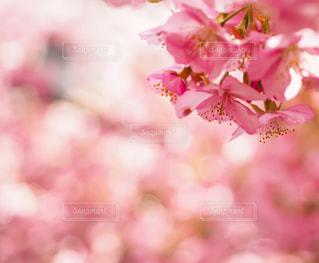河津桜の写真・画像素材[2988126]
