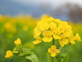 黄色い花の写真・画像素材[3029533]