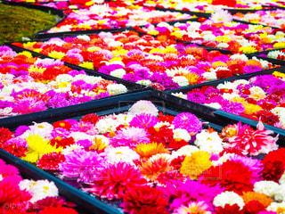 カラフルな花の写真・画像素材[3029596]