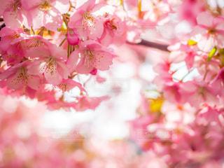 河津桜の写真・画像素材[3034045]