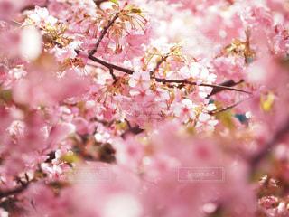 河津桜の写真・画像素材[3034047]