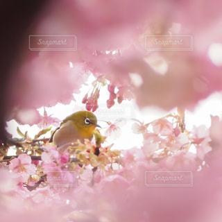 桜とメジロの写真・画像素材[3034043]