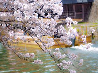 桜と屋形舟の写真・画像素材[3061067]