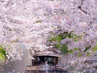 桜と屋形舟の写真・画像素材[3069558]
