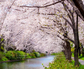 桜のトンネルの写真・画像素材[3070844]