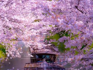伏見港公園の桜の写真・画像素材[3071980]