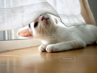 口を開けた白猫の写真・画像素材[3319069]
