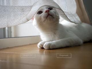 口を開けた白猫の写真・画像素材[3319070]