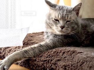 地面に横たわる灰色と白の猫の写真・画像素材[3319132]