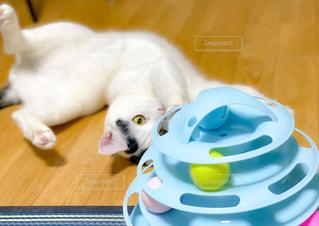 おもちゃで遊んでいる猫の写真・画像素材[3393123]