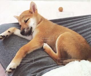 犬,かわいい,ペット,柴犬,ほっこり,豆柴
