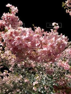 春,桜,夜景,ピンク,夜桜,サクラ,お花見,桃色,河津桜,河津,さくら,フォトジェニック