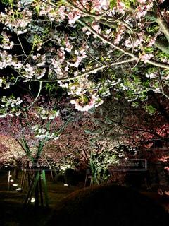 春の夜桜の写真・画像素材[1832986]