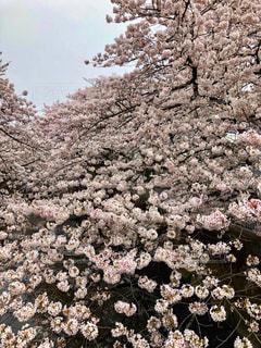 桜満開景色の写真・画像素材[1838286]