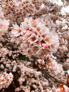 春,桜,ピンク,満開,お花見,桃色,さくら,フォトジェニック