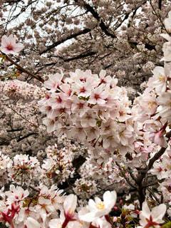 桜満開景色の写真・画像素材[1838752]