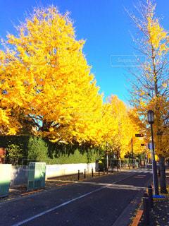 黄金色の銀杏並木の写真・画像素材[1838972]