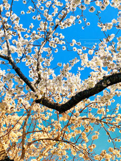 青い空と白桜の写真・画像素材[1865060]