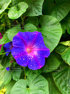 花,夏,庭,紫,水滴,庭園,水玉,雫,アサガオ,朝顔,しずく,あさがお,ガーデン