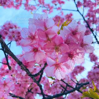 花,春,ピンク,イベント,草木,桜の花,さくら