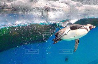 水のプールで泳ぐペンギンの写真・画像素材[764726]