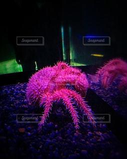 ピンクのイソギンチャクの写真・画像素材[775062]