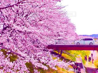 車が桜のトンネルに入ります。の写真・画像素材[1217860]
