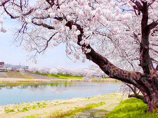 桜の写真・画像素材[1224099]