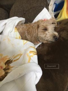 犬の写真・画像素材[509425]